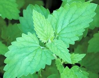 100+ Catnip Seeds - USDA Certified Organic Seeds - herb