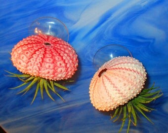 2 Adorable Suction cup Jellyfish Air Plants Pink Sea Urchin shells, Mini air planters, Tillandsia, Wall Planters, Gift for her, Gift for mom