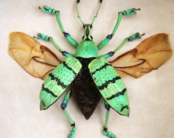 Real weevil framed - Eupholus shoenherri petiti