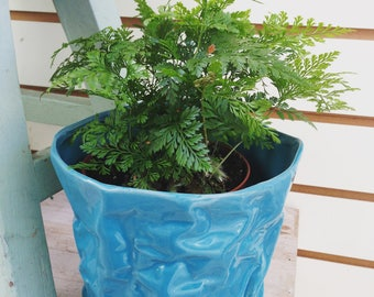 Tropical Rabbit's Foot Fern Plant 4""