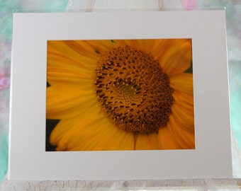 Sunflower closeup, matted