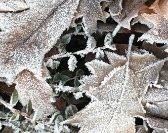 Pin Oak Leaves 1