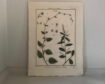 c. 1793 TRAGIA BOTANICAL PRINT - original antique flower print - botanical engraving by Deseve  - hand colored flower engraving