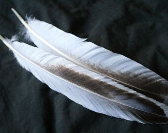 """x2 Large Wing Feathers - 11 1/8"""", Dusted White, Real Heritage Turkey- meleagris gallopavo HTF005"""