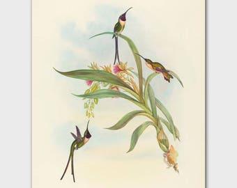 Hummingbird Decor,Botanical Bird Print (John Gould Natural History, Antique Home Decor)