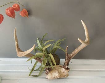Nature Made Authentic Deer Antlers with Partial Skull - Old Bones Rustic Wall Decor - Primitive Wall Art
