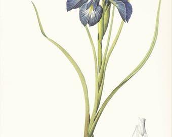 blue Iris flower botanical print vintage illustration Pierre-Joseph Redouté gardening gift for plant lover cottage decor  8.5 x 12 in