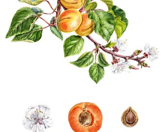 Watercolor botanical illustration: Apricot.Art print.