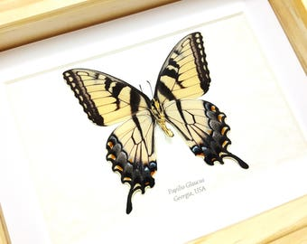 FREE SHIPPING Framed Real Papilio Glaucus VERSO The Eastern Tiger Swallowtail Taxidermy High Quality A1