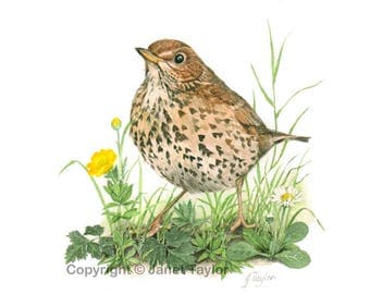 Song Thrush: Print of an original watercolour painting by Jan Taylor.