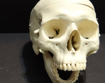 Human Skull Anatomical Model | Medical Decor
