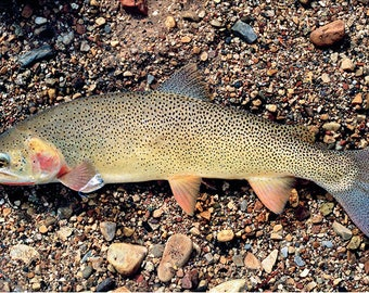 Snake River Finespotted Cutthroat Trout Giclée Print