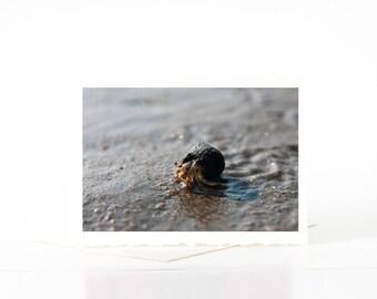 Cape Cod Beach Brown Hermit Crab Photo Card, Photograph, Photos, Prints, Blank Photography Cards, Sets, Pagurus Pollicaris, Sea Creature