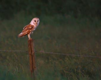 Photo print 'Barn Owl resting on post'