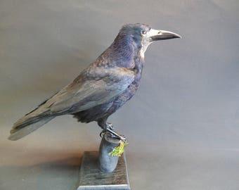 TAXIDERMY Rook (no.9142) Corvus frugilegus. Stood On Black Branch. Raven Family. Height 38cm.
