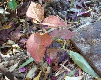 CIJ SALE Cherry Plum Tree Seedling