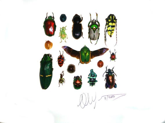 Artframe with real insects : Topquality display with beautiful insects of the world, FREE SHIPPING