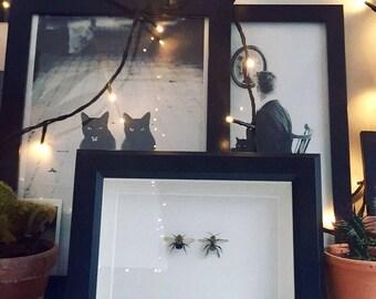 Real entomology taxidermy bumblebees in a black shadow box frame