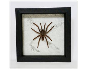 Framed tarantula spider on floral mulberry paper cobweb background black frame Spiderweb Insects Taxidermy Oddities