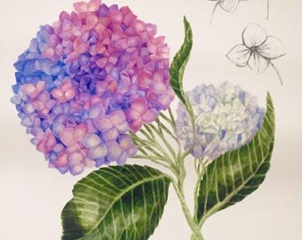 Watercolor Hydrangea Botanical Illustration - Signed/Limited edition print.