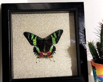 Madagascan Sunset Moth Mounted