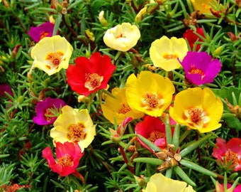 Moss Rose Portulaca Grandiflora Plant. Mixed colors - Not seeds