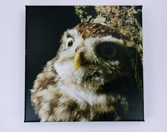 Picture Owl little in brown and white-photography art print on canvas 20 x 20 cm print-wall decoration artificial bird owls in brown