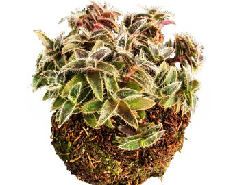 Furry Kittens Moss Ball Plant Globe,  Japanese Kokedama Garden, Best Moss Ball & Zen Globe Plant for Him and Her