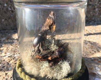 Beetle Fight Terrarium