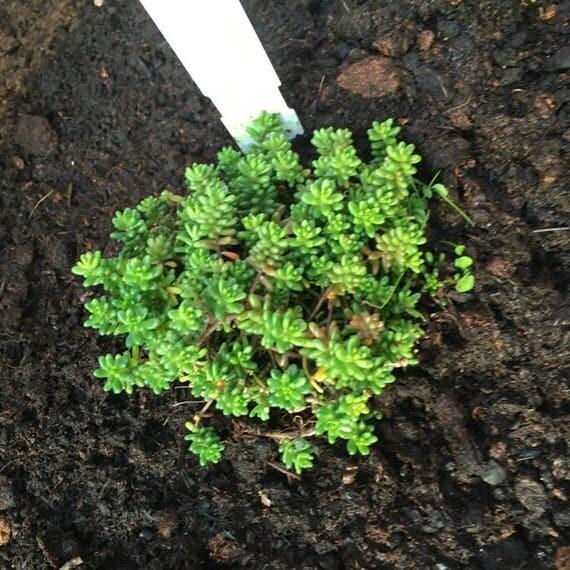 Live sedum album coral carpet live plant 2 two savvy succulents live plants fit 4 pot from - Sedum album coral carpet ...