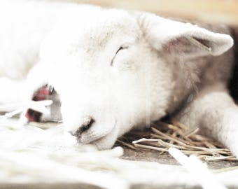 Sleepy Lamb photograph, nursery decor, wall art, baby boy nursery, baby girl nursery