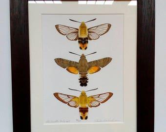 Framed limited edition art print - Hawkmoths