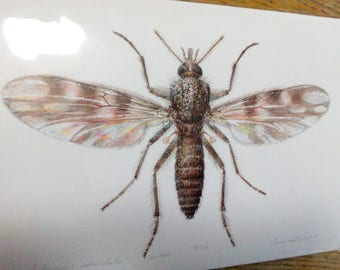 Culicoides impunctatus A4 size limited edition print