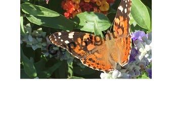 Monarch On Lantana Photo