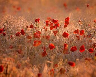 POPPIES (1). Landscape, Red, Gold, Dreamlight, Field, Dew, Goldenlight, Love, Dreamscape, Wall Art, Art Print, Canvas Art, Home Decor