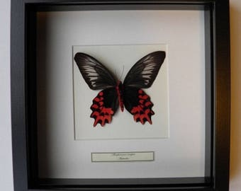 Mounted butterfly taxidermy, mounted butterfly in Atrophaneura semper list