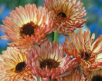Calendula 'Sherbet Fizz' Seeds/ Calendula officianalis AKA English Pot Marigold