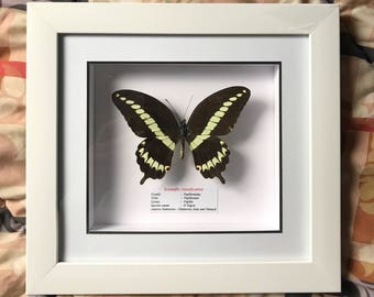 Framed butterfly taxidermy