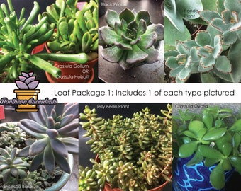 6 Succulent Leaves for Propagation//Leaf Package 1