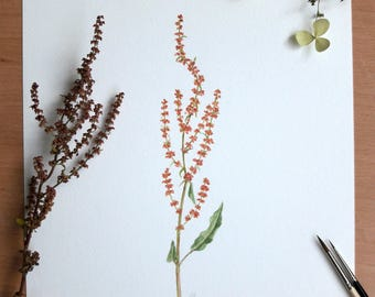 Sorrel - original botanical watercolor