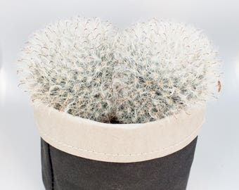 "Double headed Catus  Overgrowing 4"" Pot"