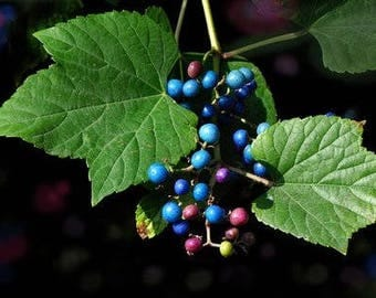 100  Seeds Ampelopsis sinica Variegated Porcelain Berry Vine Seeds, False Grape,attractive to bees and  butterflies