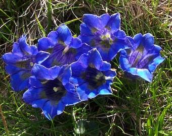 10 Gentiana clusii Seeds. Trumpet Gentian Seeds