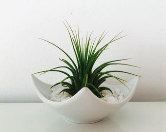 Air plant - tillandsia - terrarium - decoration