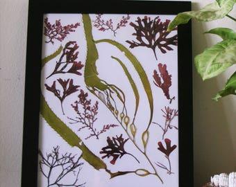 Giant Kelp and assorted red algae- Windansea 8x10