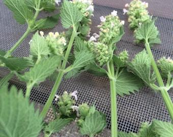 Catnip Tincture, Nepeta cataria, organically grown