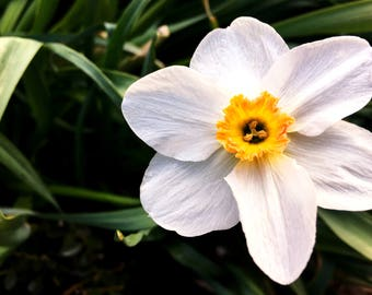 Perfect Center, 4x6, 5x7, 8x10, daffodil, garden photography, art, outdoors, home decor, picture, nature photogrpahy, white, yellow