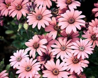 50 fresh Seeds  Light Rose Pink Bellis perennis Daisy garden Flower