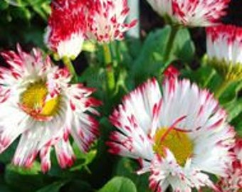 Bellis Perennis White Red Daisy Annual Flowers 50 seeds english monstrosa flowers