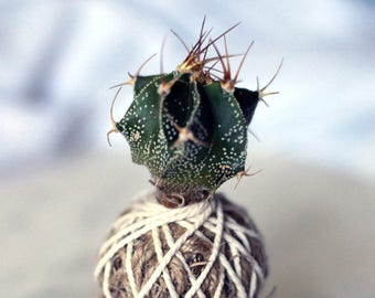 Astrophytum star cactus kokedama